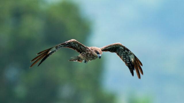 夢占い鷹空を飛んでる