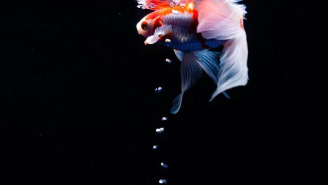夢占い 金魚